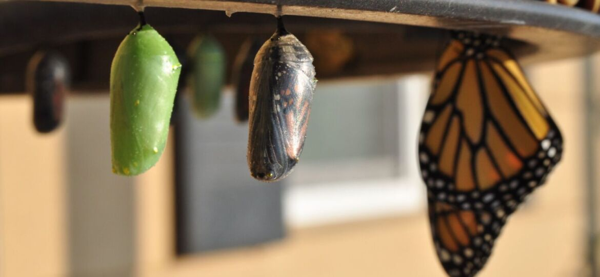 A green chrysalis, a butterfly ready to emerge from one, and a foregrounded butterfly in a row, suggesting a sequence of transformation